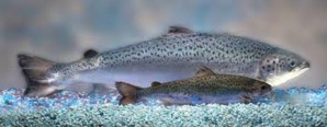 World's First Genetically-Modified Animal To Enter Food Supply Is Salmon