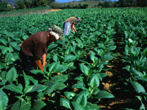 The effect of normalisation of the US-Cuba relationship on Cuba's tobacco workers