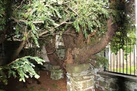 5000 Year Old Tree in Britain Changing Sex