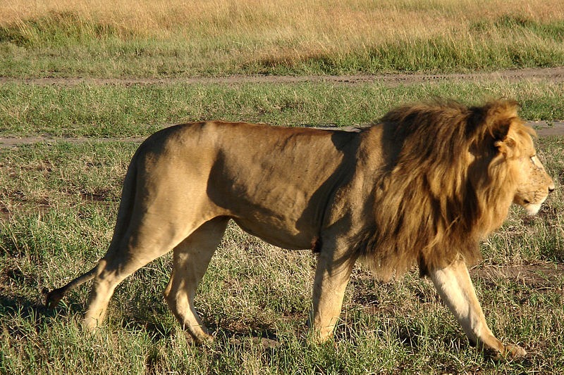 South Africa releases first Lion population report to public