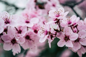 Kyoto Records Earliest Date For Cherry Blossom As Global Warming Indicator