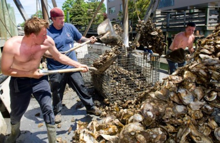 The impact of oysters on North Carolina's economy