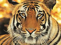 Only 106 Stripped Royal Bengal Tigers Exist in the Wild Today