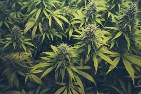 New Highs Being Reached By Cannabis Shares