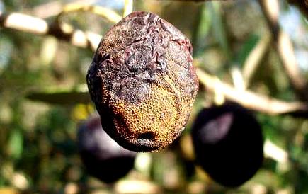 olivediseases.com