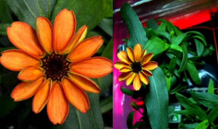 NASA Astronaut grows zinnia in space