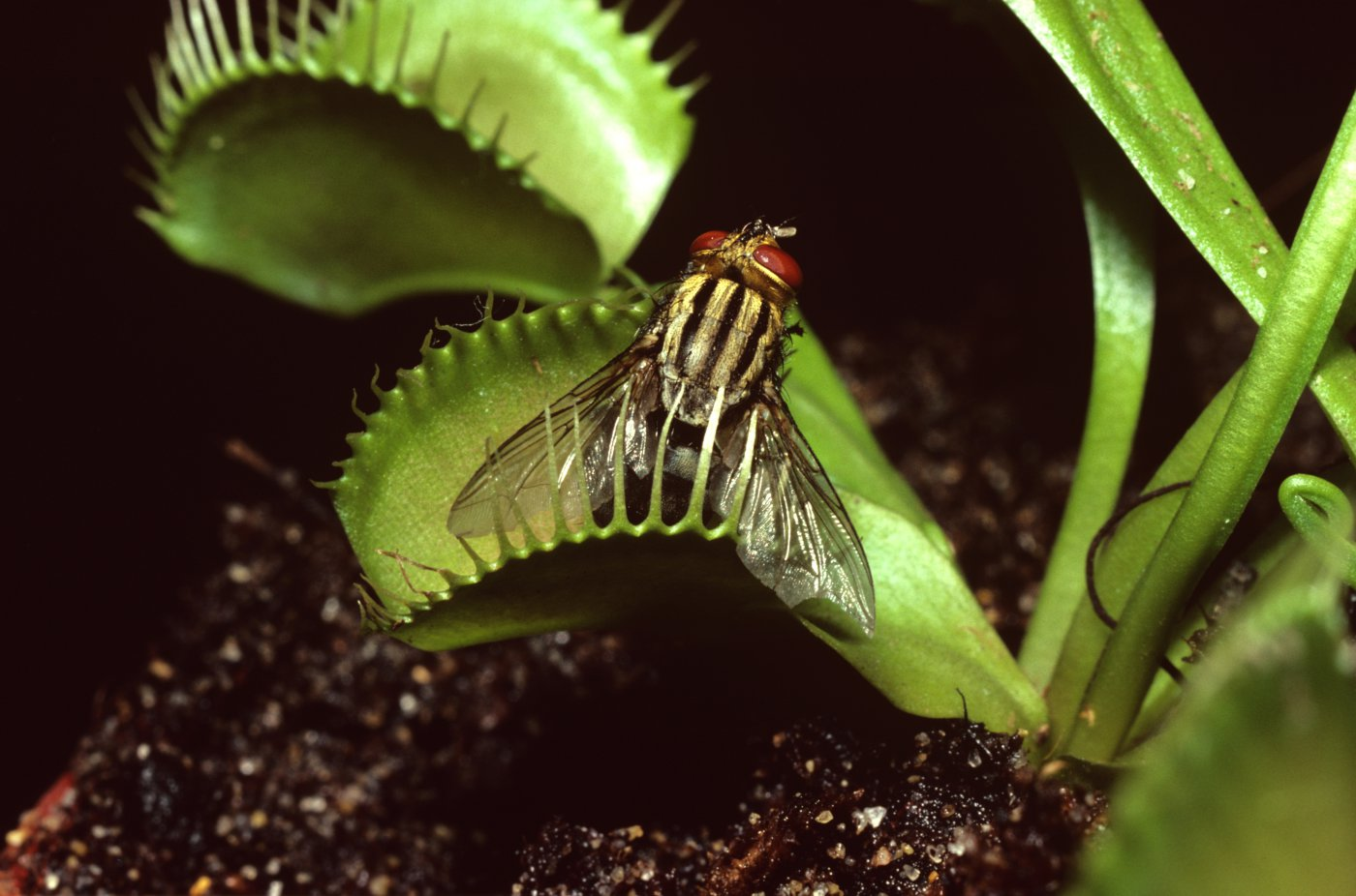 The intelligence of the Venus flytrap