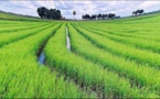 Genetically Modified Rice Could be the Solution for Paddy Methane Release