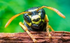 Wasps Hold The Key To Cancer Cure