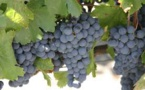 Argentine Wine Flavor Threatened by Climate Change