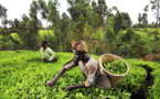 Kenya to launch the world's first tea futures